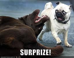 Scared pug