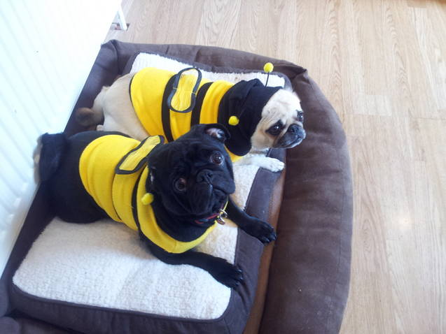 Pugs dressed as Bees